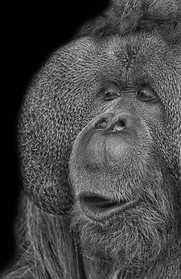 Orangutans Photograph - Orangutan by Martin Newman