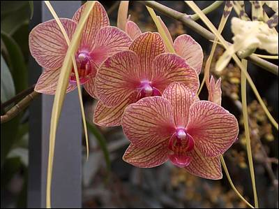 State Love Nancy Ingersoll - Orchid by Mark J Dunn