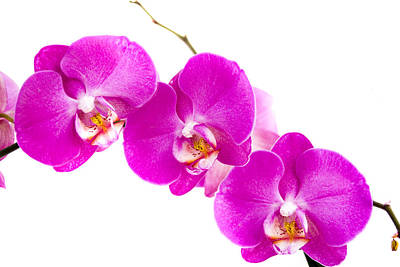 Orchids Photograph - Orchid by Olga Streikmane