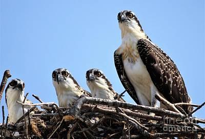 Photograph - Osprey Family by Paulette Thomas