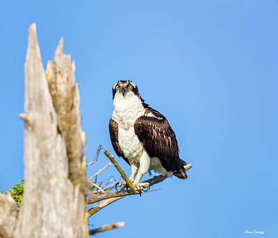Photograph - Osprey by Fran Gallogly