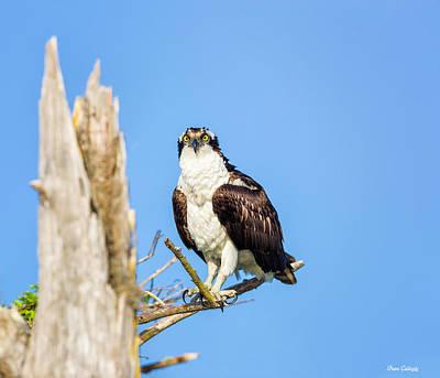 Photograph - Osprey by Fran Gallogly
