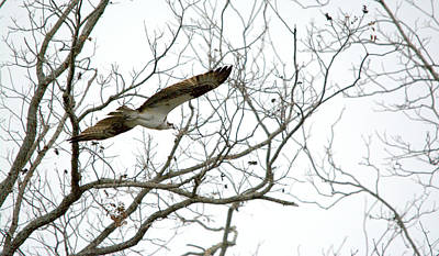 Osprey In Flight Among Trees Art Print