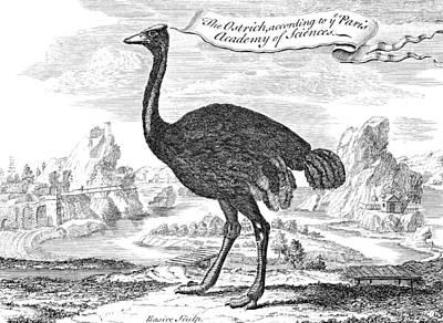 Ostrich Photograph - Ostrich by Granger
