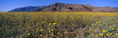 Rural Landscapes Photograph - Panoramic View Of Desert Lillies by Panoramic Images