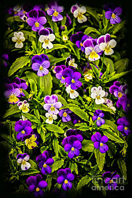 Violet Bloom Photograph - Pansies by Elena Elisseeva