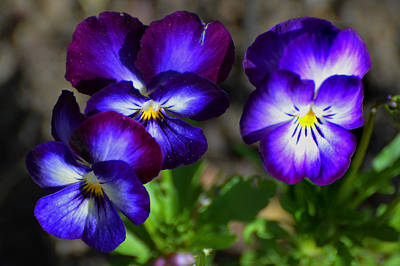 Photograph - 3 Pansies by Kathleen Stephens