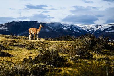 Photograph - Patagonia Guanaco by Walt Sterneman