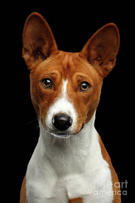 Dog Close-up Photograph - Pedigree White With Red Basenji Dog On Isolated Black Background by Sergey Taran