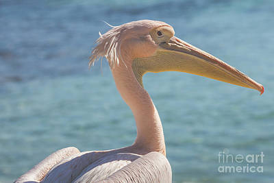 Pelikan Photograph - Pelican Close Up Portrait On The Beach In Cyprus. by Mariusz Prusaczyk