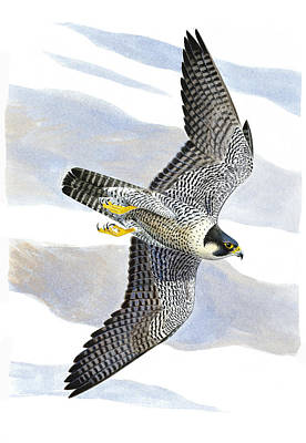 Peregrine Painting - Peregrine Falcon by Dag Peterson