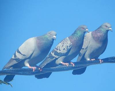 Photograph - 3 Pigeons On The Line by Mozelle Beigel Martin