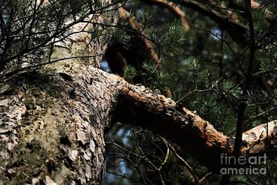 Photograph - Pine Tree by Dariusz Gudowicz