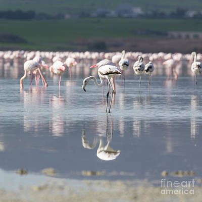 Cargo Boats - Pink and grey flamingos at the salt lake of Larnaca, Cyprus by Mariusz Prusaczyk