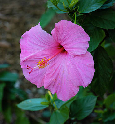 Photograph - Pink Hibiscus by Dennis Reagan