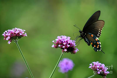 Photograph - Pipevine Swallowtail Butterfly by Karen Adams