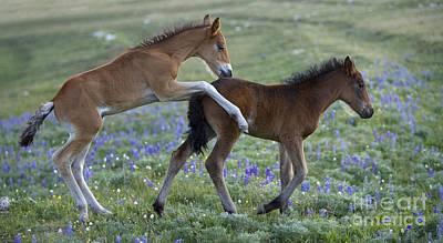 Playful Mustang Foals Art Print by Jean-Louis Klein & Marie-Luce Hubert