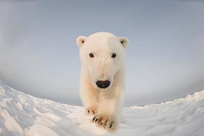 Polar Bear Photograph - Polar Bear  Ursus Maritimus , Curious by Steven Kazlowski
