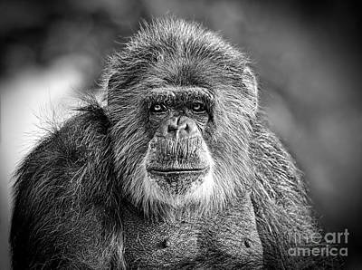Photograph - Portrait Of An Elderly Chimp by Jim Fitzpatrick