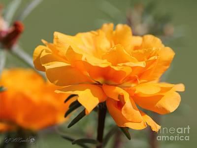 Photograph - Portulaca In Sundial Golden Orange by J McCombie