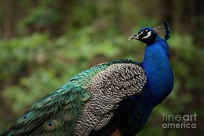 Photograph - Pretty Peacock by Paulette Thomas