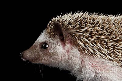 Hibernation Photograph - Prickly Hedgehog Isolated On Black Background by Sergey Taran