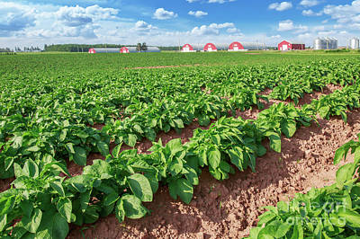 Photograph - Prince Edward Island Potato Field by Verena Matthew
