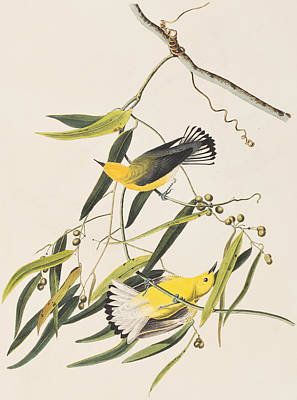 Prothonotary Warbler Art Print by John James Audubon