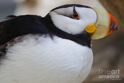 Photograph - Puffin by Steve Javorsky