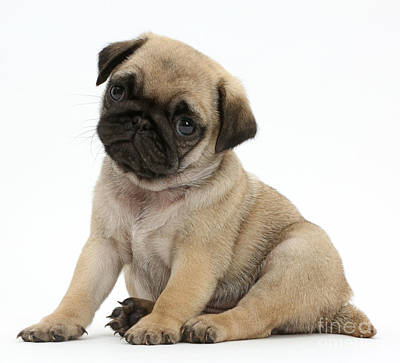 House Pet Photograph - Pug Puppy by Mark Taylor