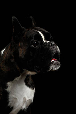 One Dog Photograph - Purebred Boxer Dog Isolated On Black Background by Sergey Taran