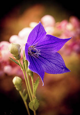 Photograph - Purple Flower by Lilia D