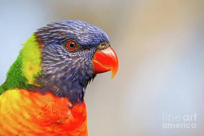 Photograph - Rainbow Lorikeet by Craig Dingle