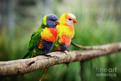 Photograph - Rainbow Lorikeet Outside During The Day. by Rob D