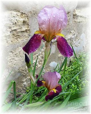 Photograph - 3 Rainy Day Iris Trio With Soft Edges by Barbie Corbett-Newmin