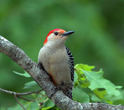 Photograph -  Red-bellied Woodpecker by Diane Giurco