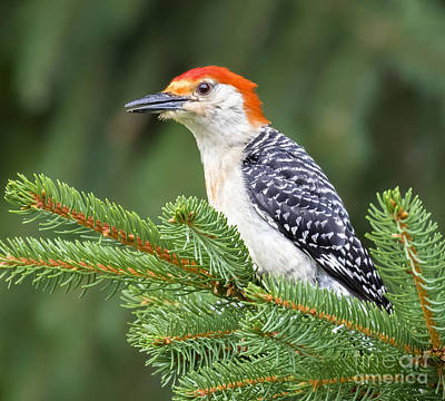 Photograph - Red-bellied Woodpecker by Ricky L Jones