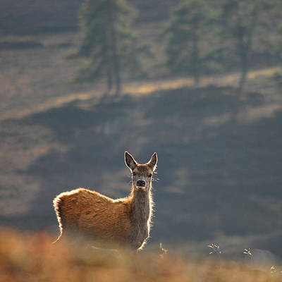 Photograph - Red Deer Calf by Gavin Macrae