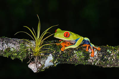 Frog Photograph - Red-eyed Tree Frog Agalychnis by Panoramic Images