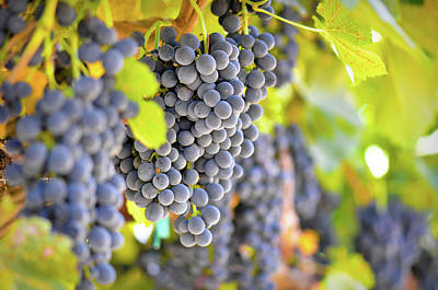 Blue Grapes Photograph - Red Grapes by Brandon Bourdages