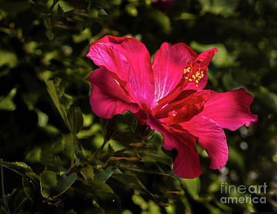 Photograph - Red Hibiscus by Robert Bales