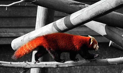 Herbivorous Photograph - Red Panda by Martin Newman