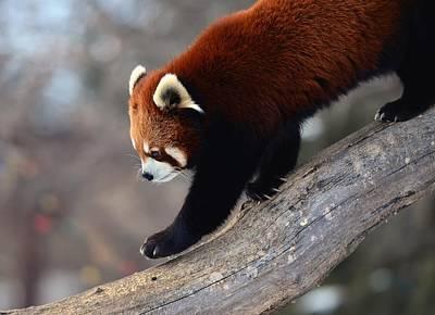 Red Digital Art - Red Panda by Maye Loeser