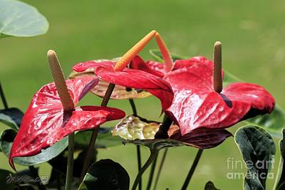 Photograph - Red Peace Lily by J McCombie