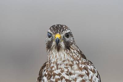 Photograph - Red-shouldered Hawk by David Campione