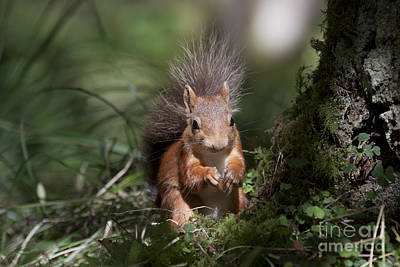 Photograph - Red Squirrel - Scottish Highlands #6 by Karen Van Der Zijden