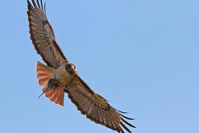 Red Tail Hawks Photograph - Red-tailed Hawk  by Carl Jackson
