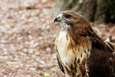 Photograph - Red Tailed Hawk by Jill Lang