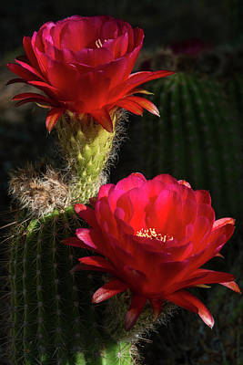 Red Torch Cactus  Art Print by Saija Lehtonen