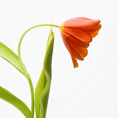 Green Color Photograph - Red Tulips On A Textured Background by Bernard Jaubert